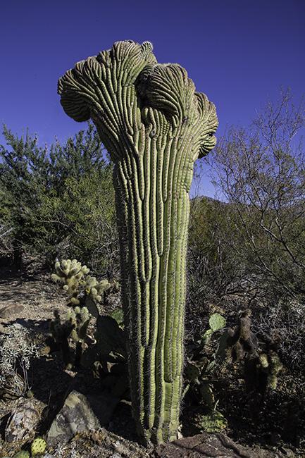 Saguaro vor Sonora Desert Museum