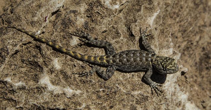 3 Clark's spiny lizard
