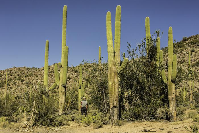 Saguaro NP Visitor Cactus garden