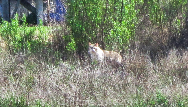 Bobcat mit Wasserzeichen-3