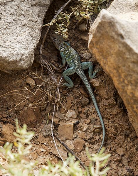 10 Collard Lizard
