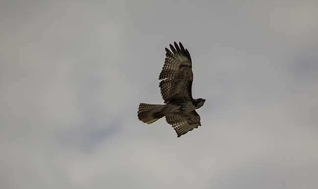 12 redtailed Hawk