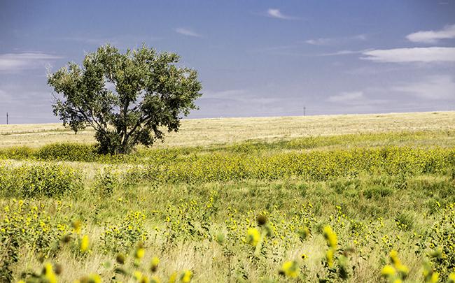 2 Sonnenblumenfeld