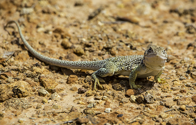 4 Collard Lizard (Crotaphytus collaris)