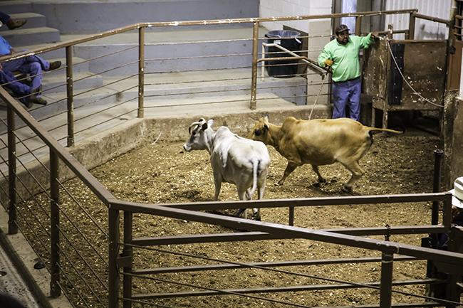 5 Brahman cattle