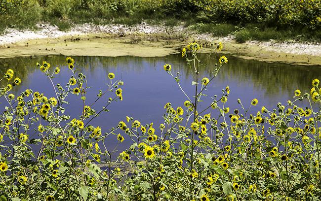 7 Sonnenblumen am See